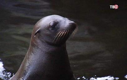 Морской львенок стал новым любимцем посетителей Московского зоопарка