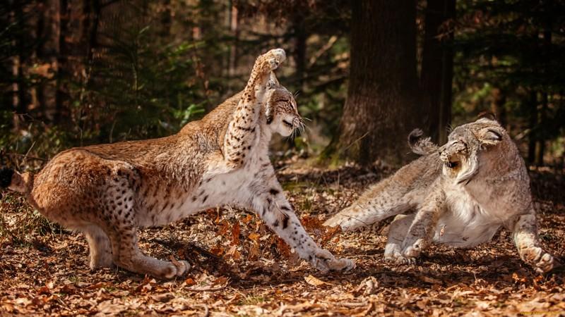Большие коты: дикие и прекрасные.