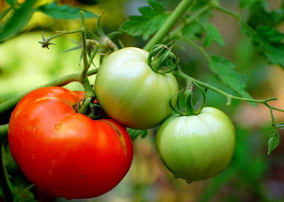Листва и пасынки  у томатов - удалять или нет? Как избавить плоды огурца от горечи и добиться их идеальной формы