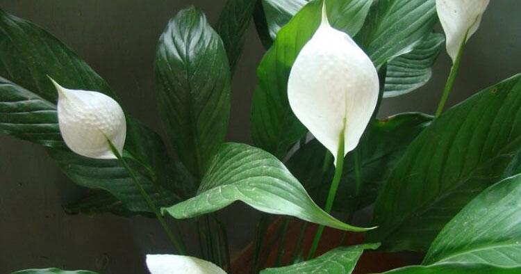 Эти растения – кислородные бомбы!Вот 6 лучших растений, которые вы должны иметь в вашем доме
