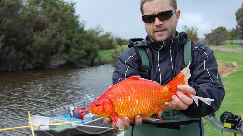 Реки Австралии терроризируют гигантские золотые рыбки-мутанты