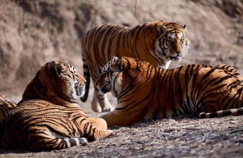 Отъевшимся сибирским тиграм …