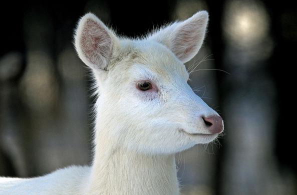 В Огайо засняли редкого оленя-альбиноса