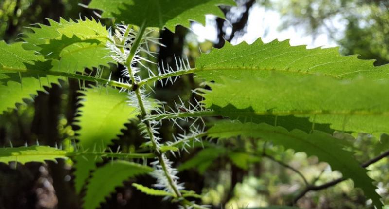 Смертельно опасная онгаонга: где растет 5-метровая крапива