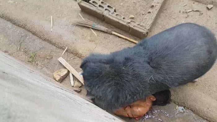 Медведь набросился и утащил туриста, который дразнил его едой