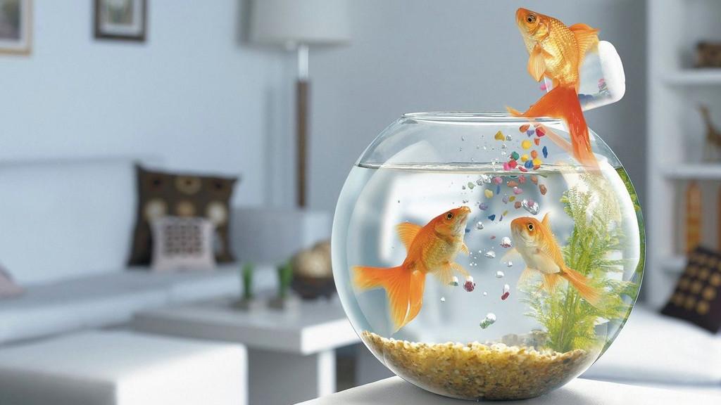 16. Золотая рыбка не в состоянии помнить что-либо дольше трёх секунд. мифы, разрушители легенд, факты