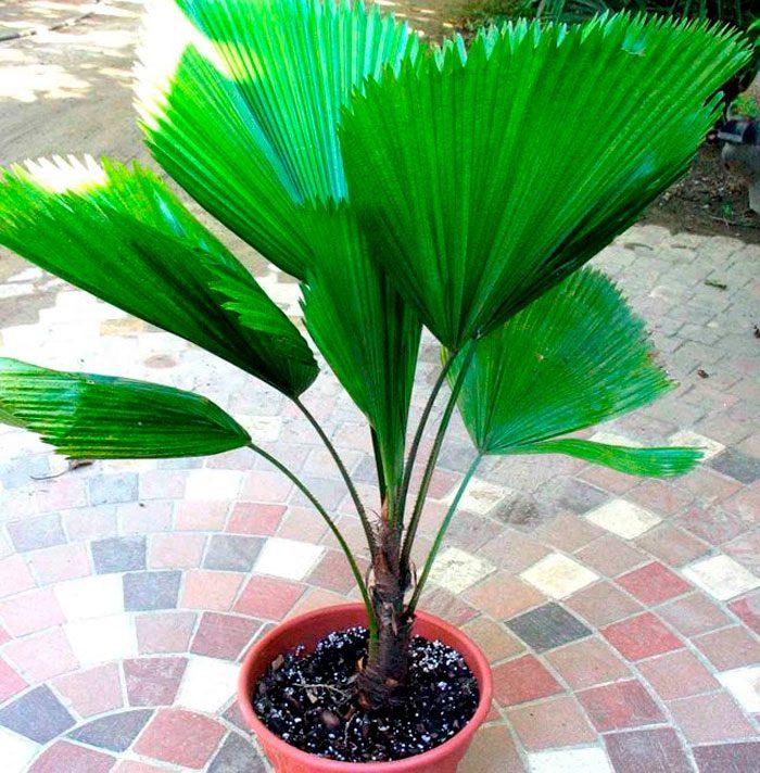 Пальма ликуала: уход в домашних условиях, пересадки и размножение