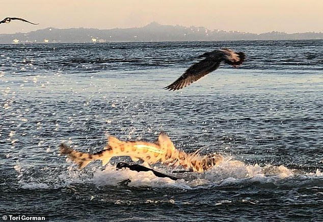 Битва морского льва и леопардовой акулы попала на видео