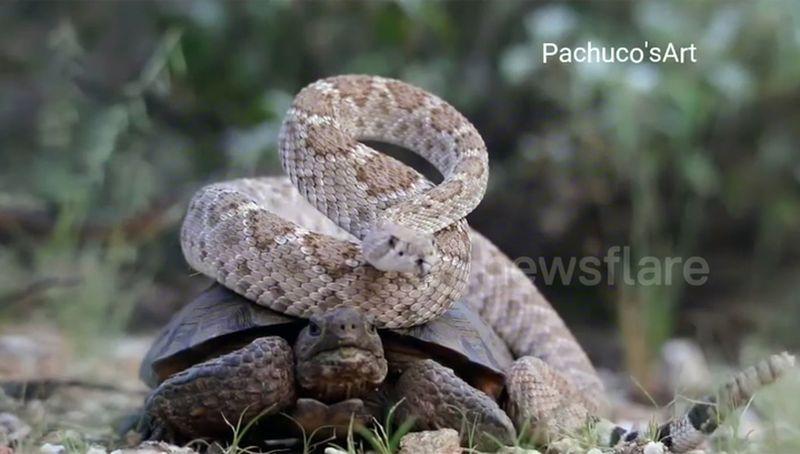 В Аризоне засняли черепаху, которая везла на себе гремучую змею