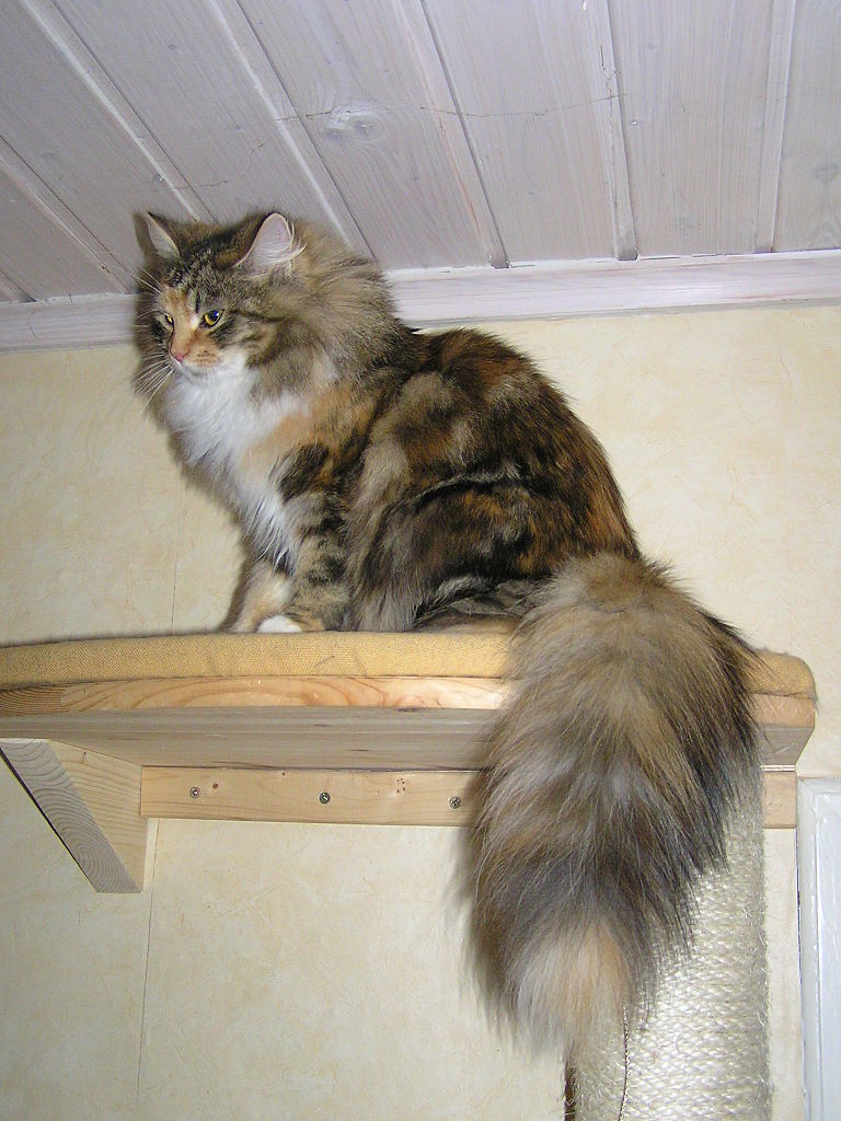 https://upload.wikimedia.org/wikipedia/commons/thumb/f/f3/Siberian_cat_tail.JPG/768px-Siberian_cat_tail.JPG