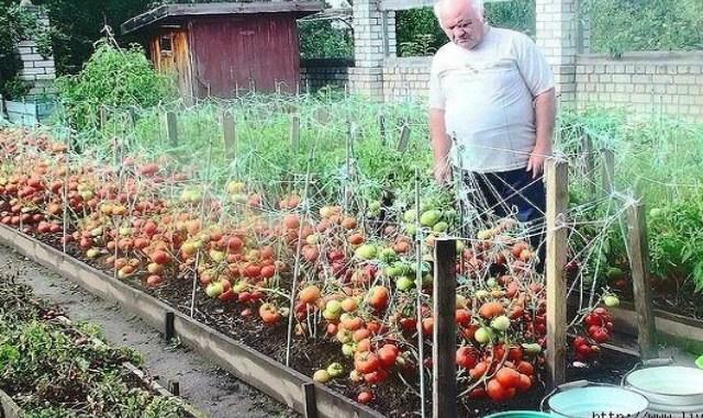 Дедовский рецепт для выращивания томатов