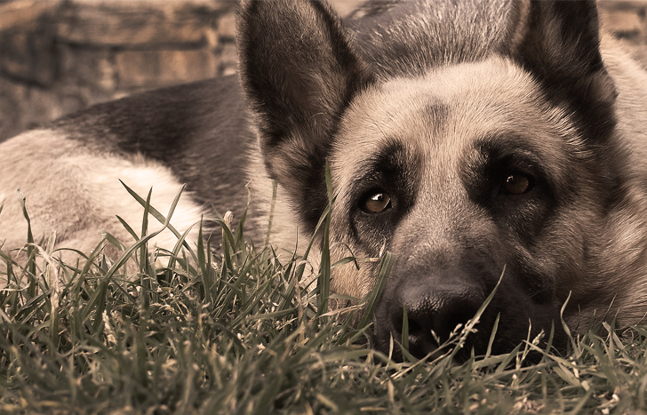 Этот пёс и себя спас и однополчан своих выручил