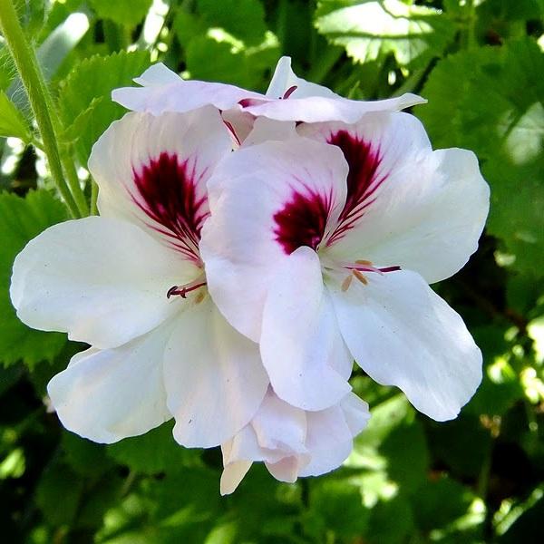 Почему королевская пеларгония не цветет