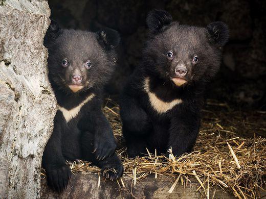 Красноярские медвежата впервые вышли в свет