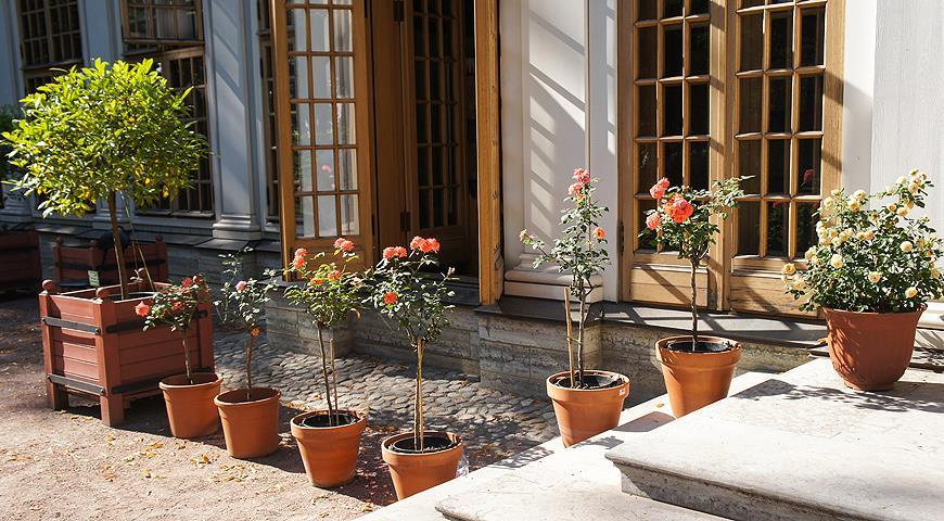 розы в горшках у дома