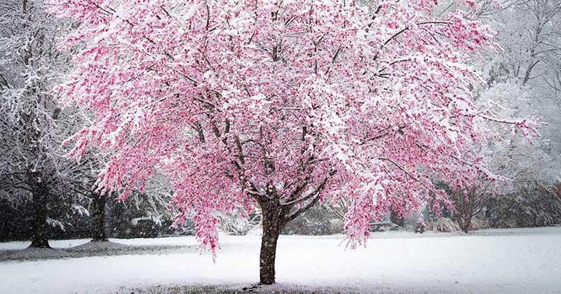 Весенний снег на сакуре – картина, достойная руки художника