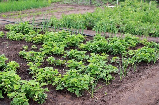 Яблони – на север, томаты – на юг! Как распределить место в огороде?