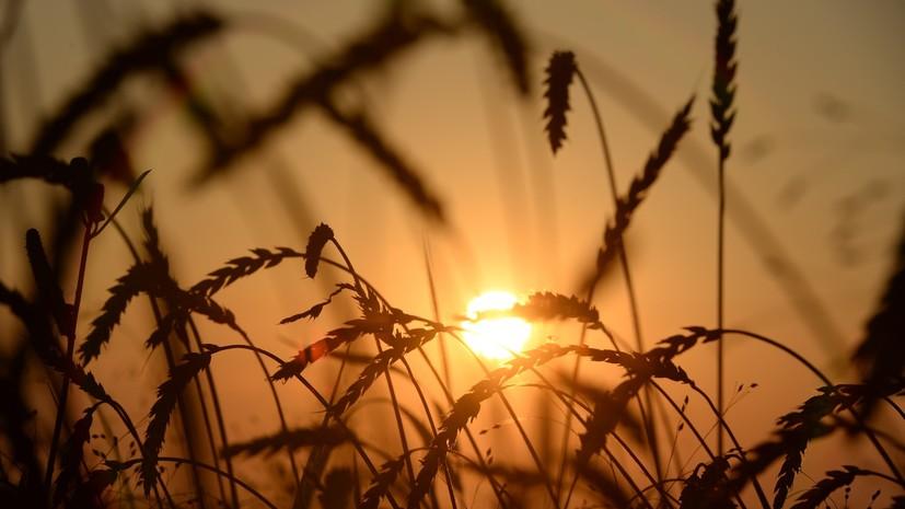 «Нам есть чем гордиться»: чиновники отчитались о рекордном урожае зерна