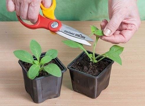 Очень простой способ вырастить петунию