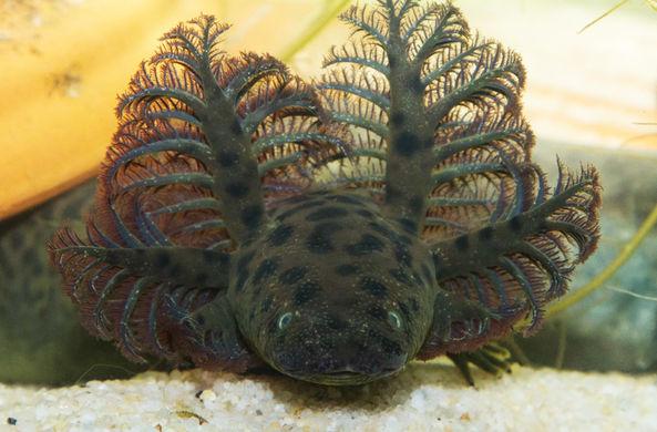 Ученые впервые описали саламандру с «елкой» на голове