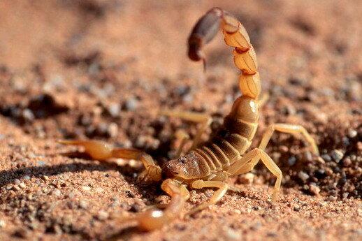 Скорпион в пустыне.