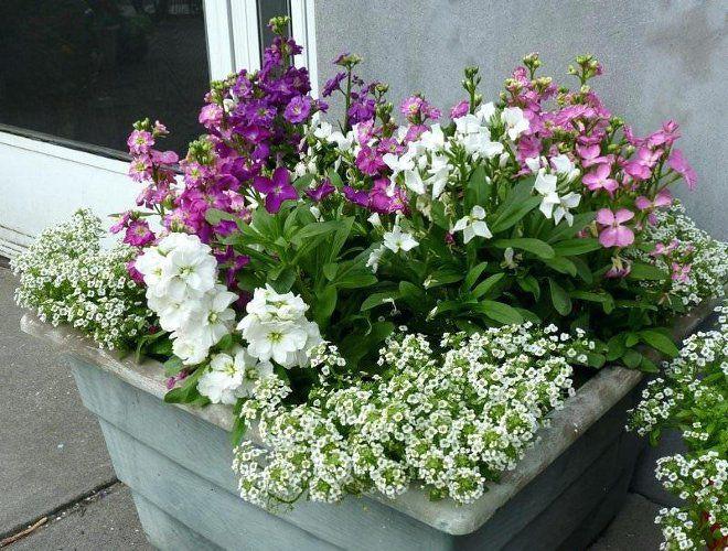 кашпо для цветов алиссум