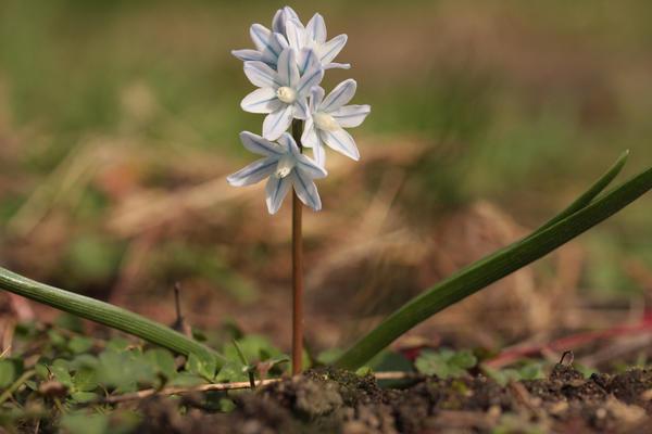 Пушкиния в саду - скромница или звезда весеннего сада?