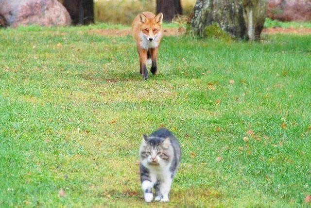 Голодная лиса решила подзакусить котом животные, коты, прикол