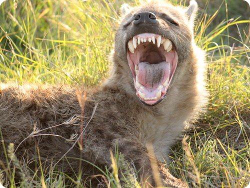 5 интересных фактов о гиенах. Вы точно этого не знали, проверим?