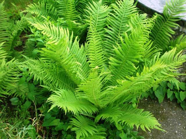 Лекарственное растение папоротник мужской