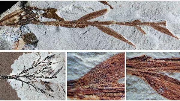 """Ученые установили, что """"древнейший бамбук"""" был хвойным растением"""