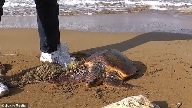 На Мальте турист спас черепаху, застрявшую в пластиковом мусоре