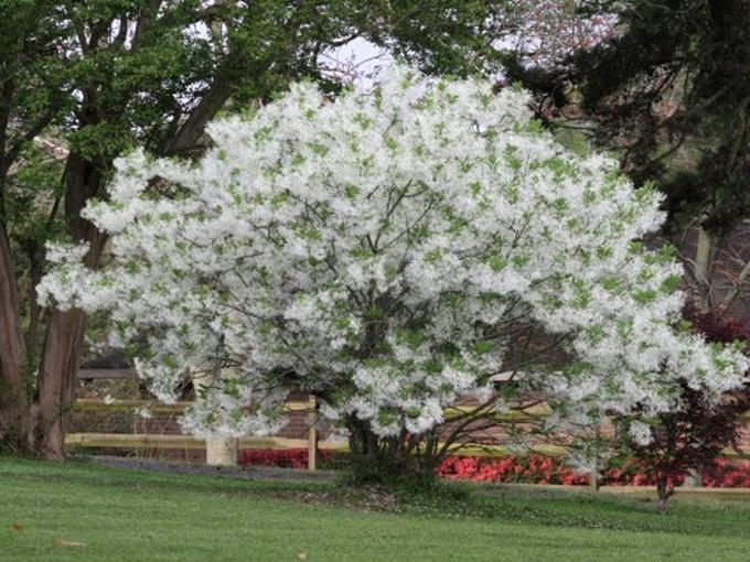 Снежное дерево - экзотика в вашем саду