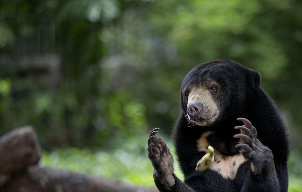 Малайские медведи могут копировать мимику друг друга