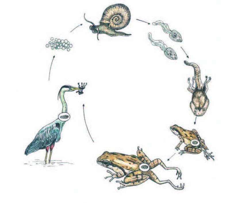Зачем лягушке лишние лапы?