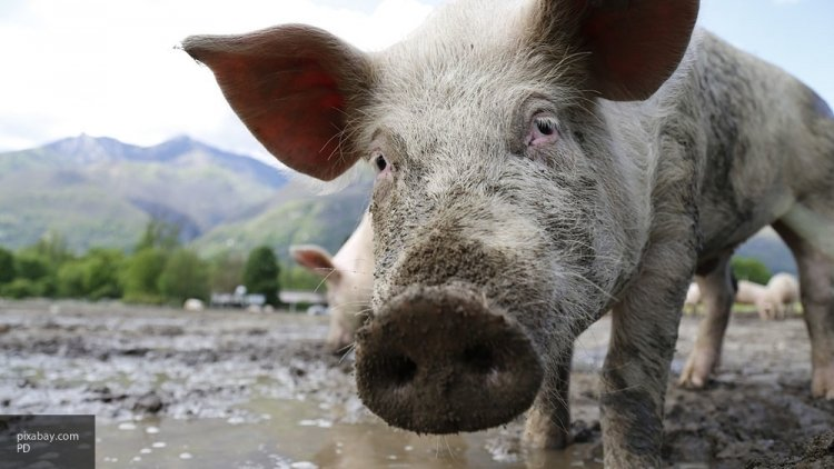 Свинья напала на мясников, спасая собрата