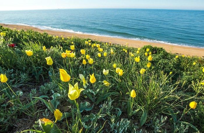 Дикие тюльпаны у моря. Автор фото: Сергей Анашкевич
