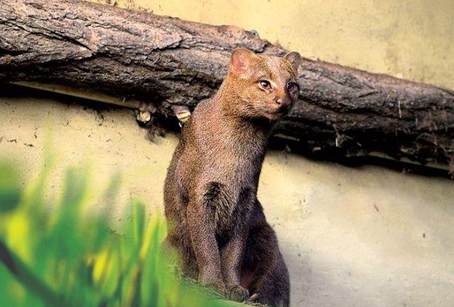 Ягуарунди — необычная кошка из Америки