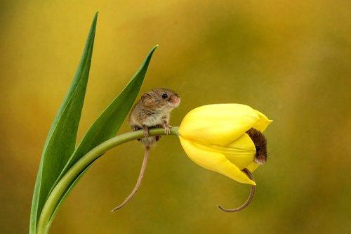 Мыши-малютки внутри тюльпанов в фотографиях Майлса Херберта