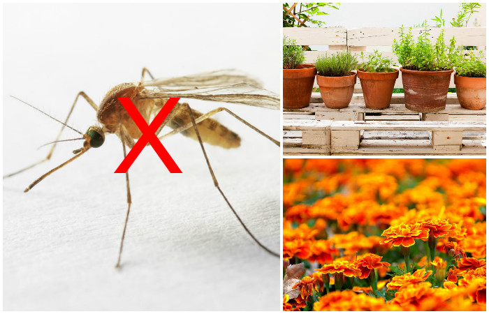 7 растений, которые стоит посадить возле дома, чтобы избавиться от комаров