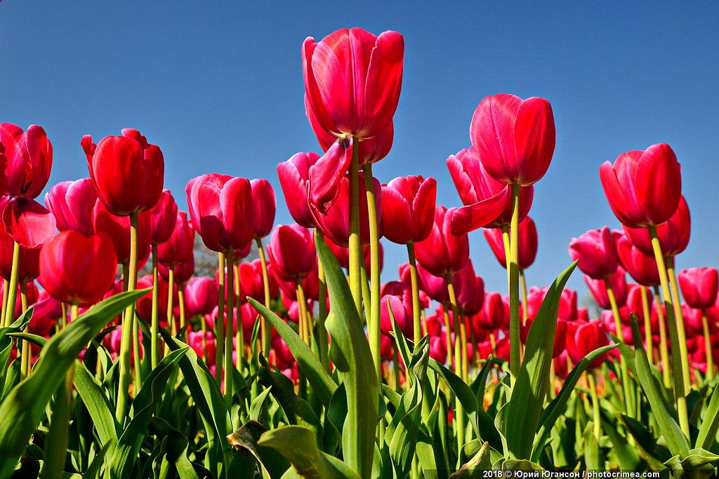 Парад тюльпанов в Крыму