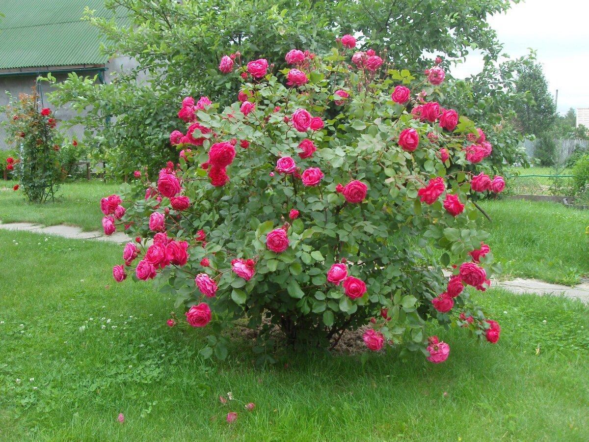 Чем канадские розы хороши дл…