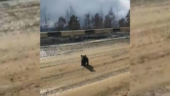 Медвежонок встал на защиту матери от преследовавших водителей