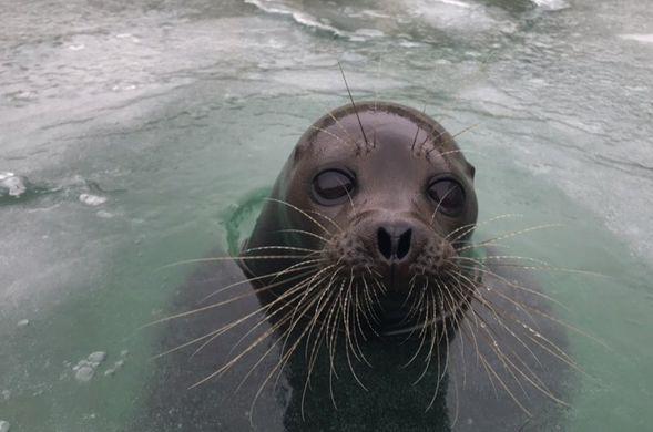 Петербургского тюленя Крошика спасли из замерзшего бассейна