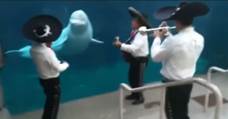 Музыканты подошли к белому киту и заиграли на инструментах. Такой реакции животного никто не ожидал!