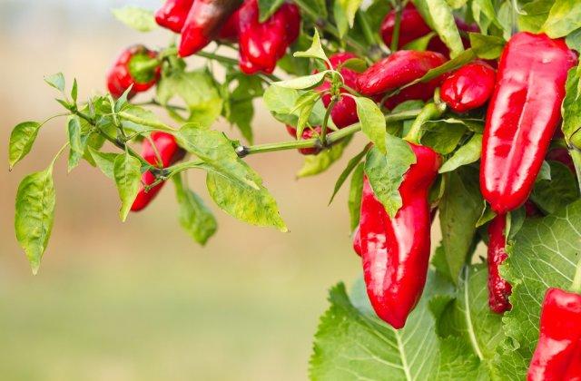 Болгарский перец: с чем рядом можно и нельзя сажать в теплице