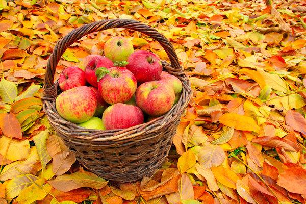 Осенняя листва это очень красиво, но и вредно!   Сад-огород