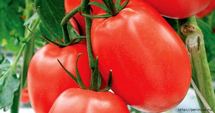 Мой эксперимент в безрассадном методе выращивания помидоров