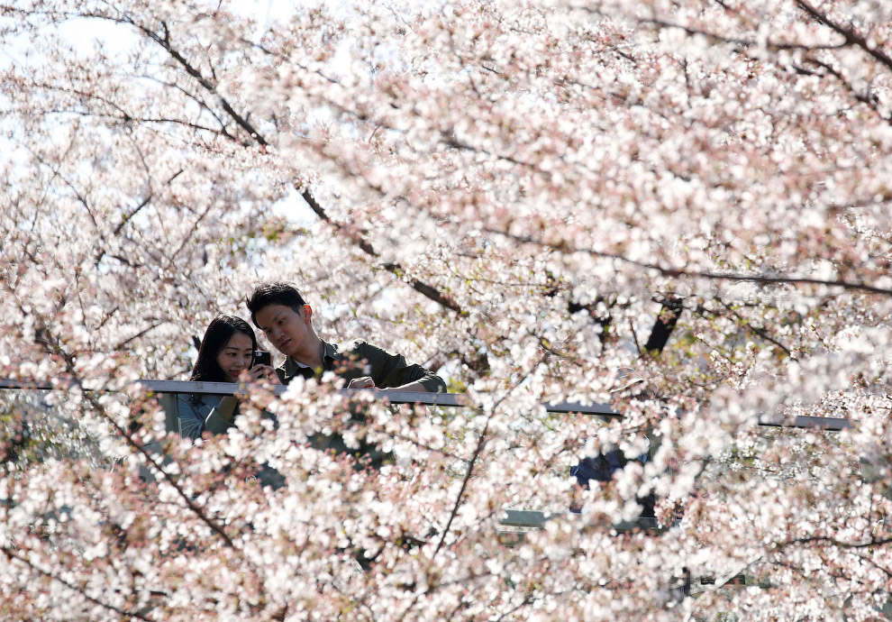SPRING-CHERRYBLOSSOMS/JAPAN