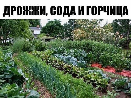 Дрожжи и сода для огорода.